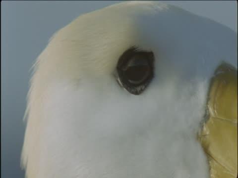 stockvideo's en b-roll-footage met a waved albatross looks around. - dierlijke mond