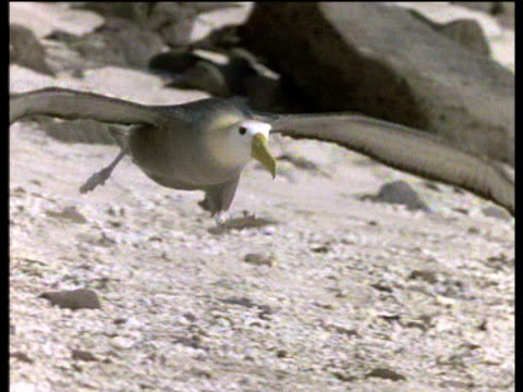 Waved albatross runs and takes off on beach and takes flight, Midway Islands