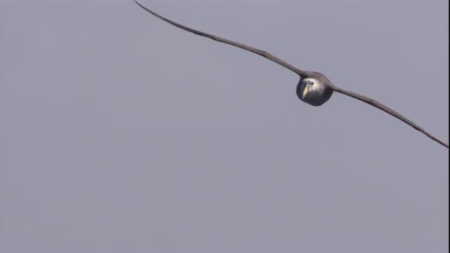 a waved albatross soars across a hazy blue sky. available in hd. - albatross stock videos & royalty-free footage