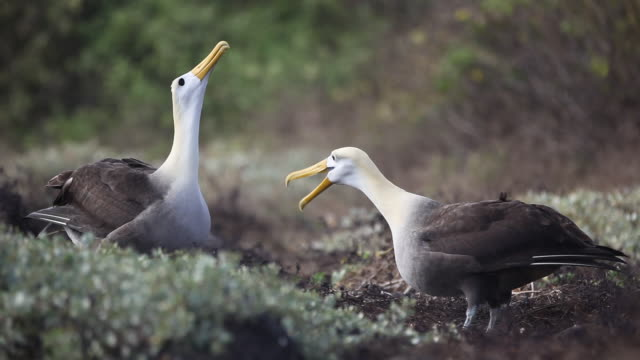 waved albatross - 50 seconds or greater stock videos & royalty-free footage