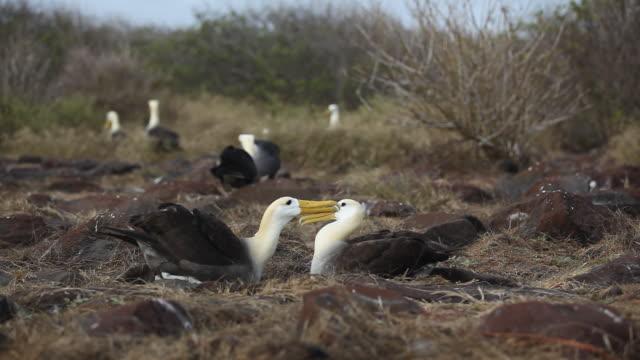 stockvideo's en b-roll-footage met waved albatross - groep dieren