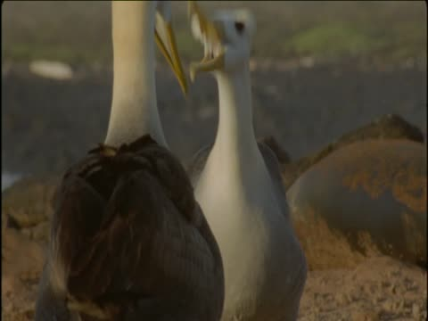 waved albatrosses peck at each other's bills and imitate each other in front of galapagos sea-lions. - djurmun bildbanksvideor och videomaterial från bakom kulisserna