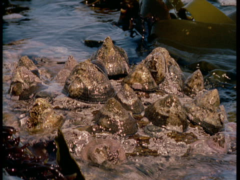 vídeos de stock, filmes e b-roll de waves and seaweed wash over a cluster of limpets that cling to rocks. - gastrópode