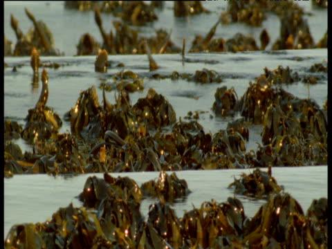 waves roll through kelp forest - kelp stock-videos und b-roll-filmmaterial