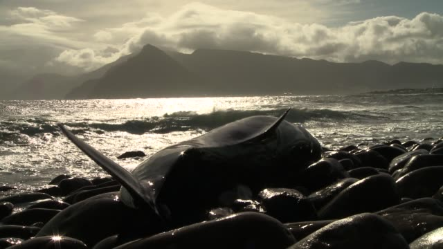 waves wash against a beached false killer whale. available in hd. - false killer whale stock videos & royalty-free footage