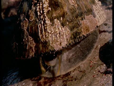 vídeos de stock, filmes e b-roll de waves wash over a limpet. - gastrópode