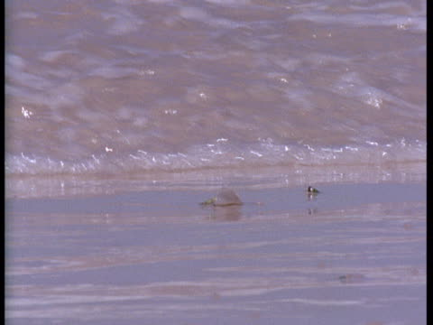 """waves wash over plough snails. - """"bbc natural history"""" stock videos & royalty-free footage"""