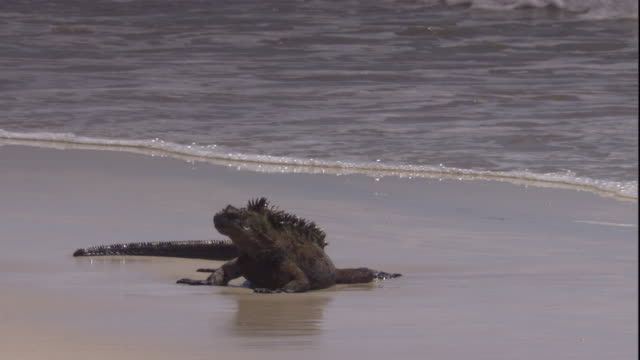 Waves wash up to a marine iguana on a Pacific Ocean beach. Available in HD.