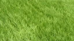 Waving rice paddy field by wind