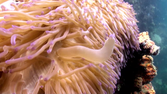 Waving sea anemone tentacles