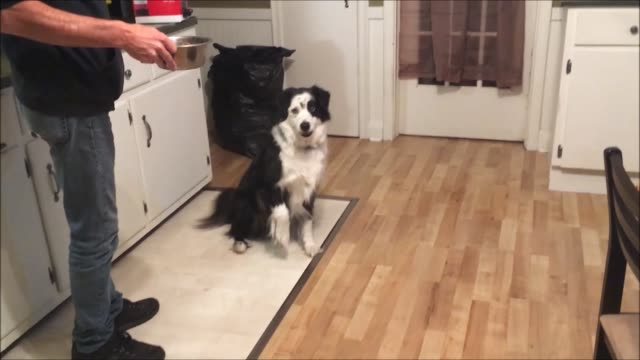 stockvideo's en b-roll-footage met we all do strange things when we are hungry and dogs can be no different when this australian shepherd hears the food hitting the dish she knows what... - australische herder