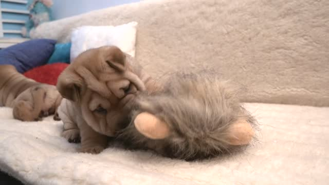 vidéos et rushes de we all have that one sibling that will do anything to annoy you. this poor little shar pei can't even enjoy a nap without her brother bugging her.... - mignon