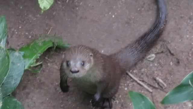 we all know that otters are adorable, and that animals begging are adorable, so when you put those together, you get cuteness overload, and this... - otter stock videos & royalty-free footage