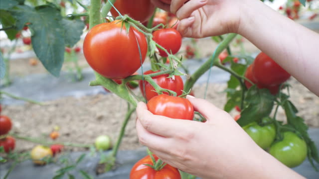we have a good production of tomatoes this year. - agricultural activity stock videos & royalty-free footage