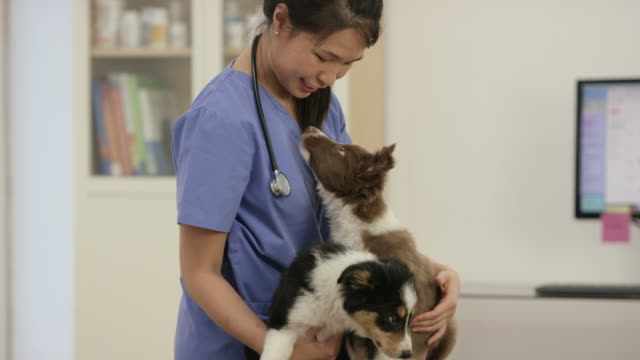 we love the vet - border collie stock videos & royalty-free footage