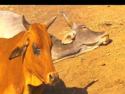 stockvideo's en b-roll-footage met weak thirsty cattle lay in blazing sun following severe drought kenya; 20 september 2009 - werkdier