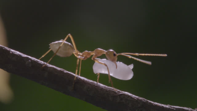 weaver ant (oecophylla smaragdina) carries larva in forest, australia - carrying stock videos & royalty-free footage