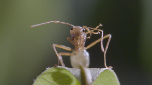 weaver ant (oecophylla smaragdina) grooms on leaf, australia - one animal stock videos & royalty-free footage