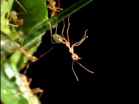 mcu weaver ant hanging upside-down, alert, australia - upside down stock videos & royalty-free footage