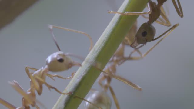 weaver ants (oecophylla smaragdina) crawl along plant stem, australia - ant stock videos and b-roll footage