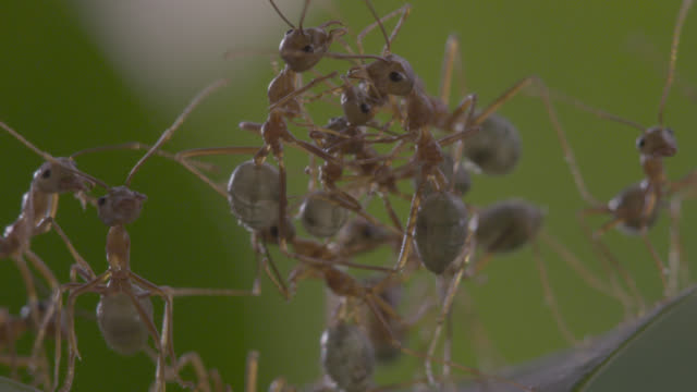 Weaver ants (Oecophylla smaragdina) form living bridge in tree, Australia