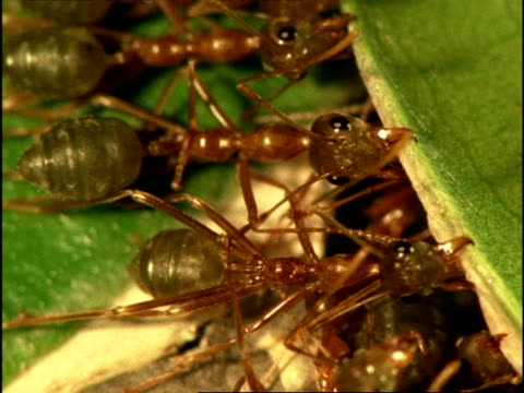 cu weaver ants (oecophylla) holding leaves together to build nest, australia - nest stock-videos und b-roll-filmmaterial
