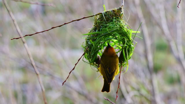 weaver bird building its nest in a tree - bird's nest stock videos & royalty-free footage