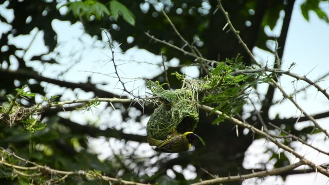 Weaver bird building its nest