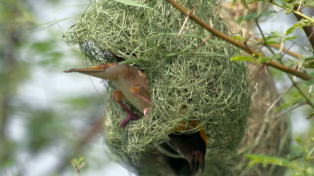 weaver bird building nest / kannauj, uttar pradesh, india - animal mouth stock videos & royalty-free footage