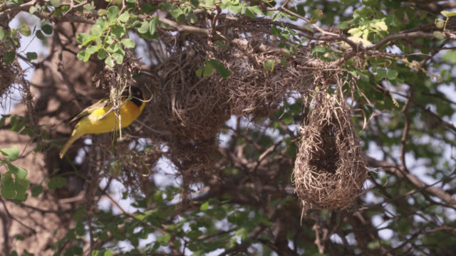 weaver bird builds nest, south africa - bauen stock-videos und b-roll-filmmaterial