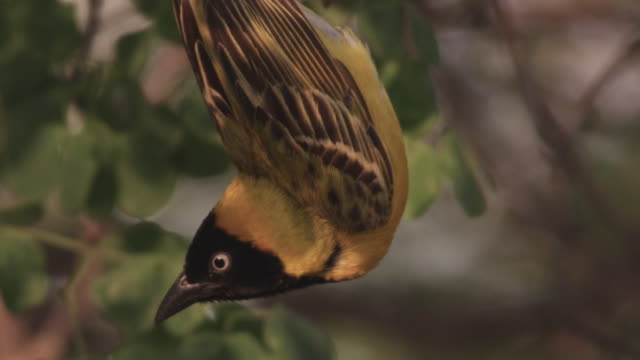 slomo weaver bird dangles from nest, south africa - hanging stock videos & royalty-free footage