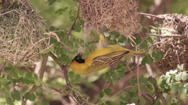 weaver bird destroys rival's nest, south africa - destruction stock videos & royalty-free footage