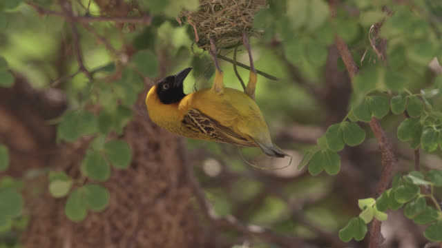 weaver bird dismantles nest, south africa - dismantling stock videos & royalty-free footage