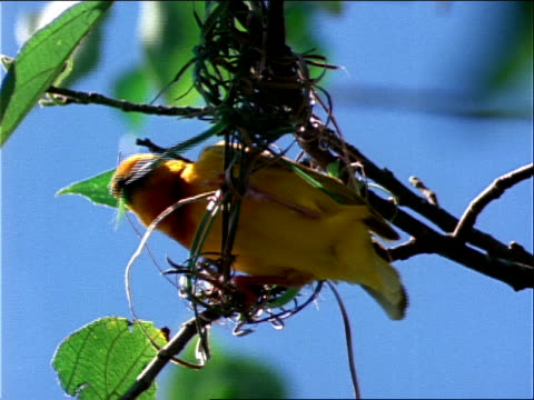 a weaver bird strings together a new nest. - bird's nest stock videos & royalty-free footage