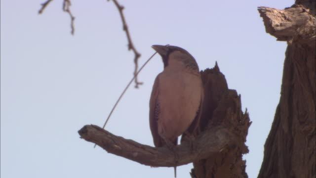 MS, LA, Weaver bird with twig in beak perching on tree branch, Africa