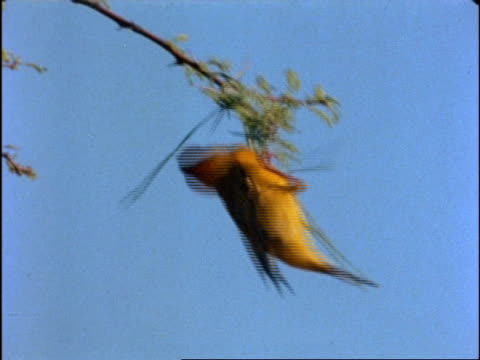 MS Weaver Bird, yellow and black, on windy tree branch, takes off, edited sequence; SEQUENCE OF CLIPS, SPECIAL TERMS APPLY