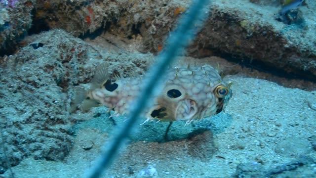 web burrfish. - dykarperspektiv bildbanksvideor och videomaterial från bakom kulisserna