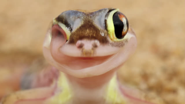 a web-footed gecko licks condensed moisture off its eye. - licking stock videos & royalty-free footage