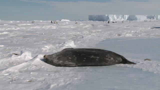 weddell seal (leptonychotes weddellii) basks on snow, emperor penguins move behind, cape washington, antarctica - cape washington stock videos & royalty-free footage