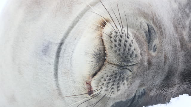 weddell seal close-up of face - seal animal stock videos and b-roll footage