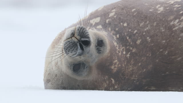 weddell seal looks at the camera - seal animal stock videos & royalty-free footage