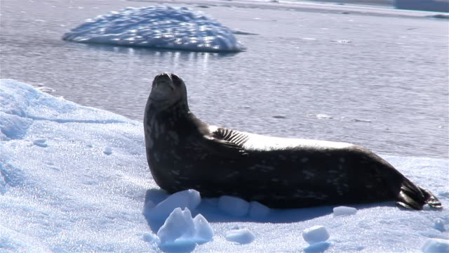 ms, pan, weddell seal on iceberg, antarctic peninsula, antarctica - aquatic organism stock videos & royalty-free footage