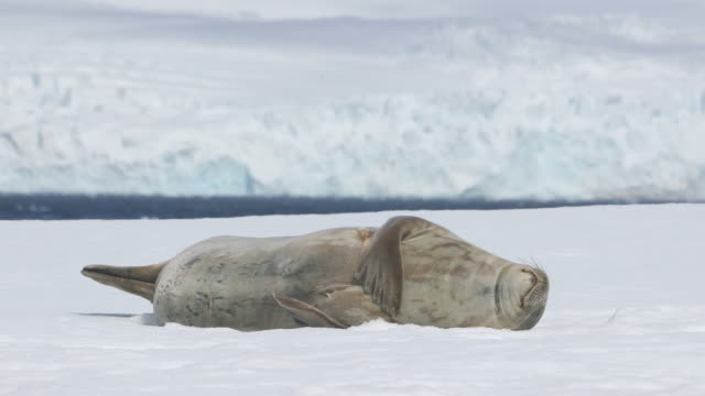 weddell seal scratching belly - seals stock videos and b-roll footage