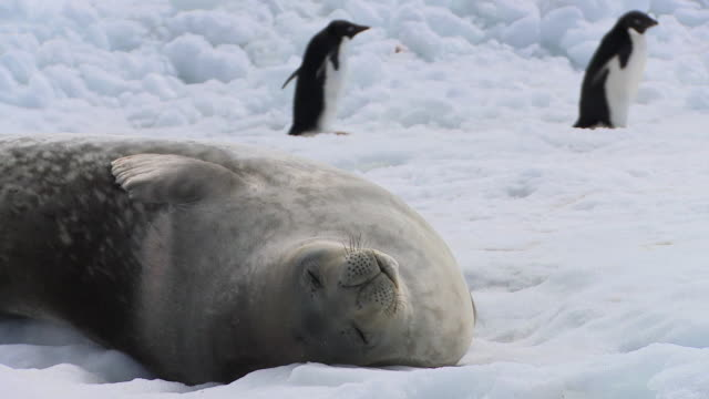 cu weddell seal (leptonychotes weddellii) sleeping on snow, adelie penguins (pygoscelis adeliae) walking in background / devil island, antarctica - seal animal stock videos & royalty-free footage