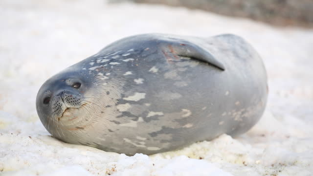 vídeos de stock e filmes b-roll de weddell seal sleeping on snow, waking up - 30 segundos ou mais