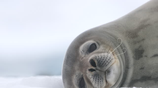 weddell seal - seal animal stock videos & royalty-free footage