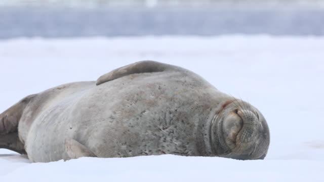 weddell seal - seal animal stock videos & royalty-free footage