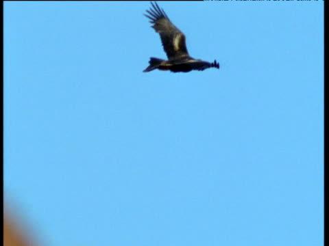 wedge tailed eagle flies, flinders range, australia - chroma key stock videos & royalty-free footage