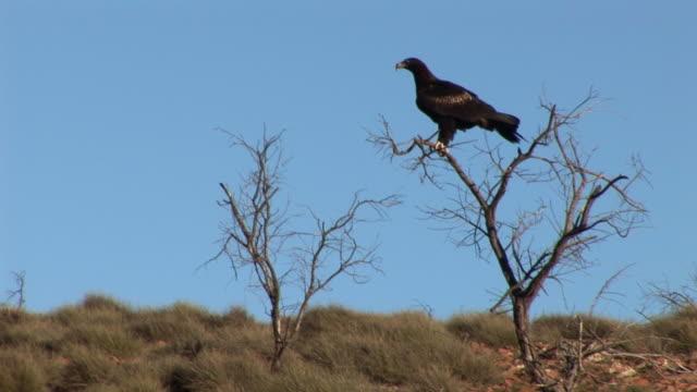 ws wedgetail eagle (aquila audax) perching on bare tree top against clear sky, flinders ranges, south australia, australia - south australia bildbanksvideor och videomaterial från bakom kulisserna