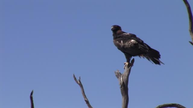 vídeos y material grabado en eventos de stock de ws la wedgetail eagle (aquila audax) perching on bare tree top against clear sky, simpson desert, northern territory, australia - bare tree